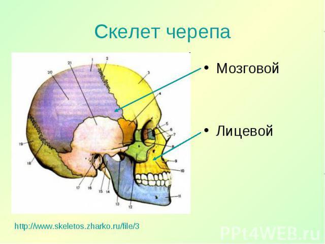 Мозговой Мозговой Лицевой