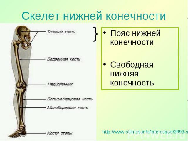 Пояс нижней конечности Пояс нижней конечности Свободная нижняя конечность