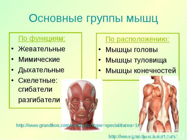 По функциям: По функциям: Жевательные Мимические Дыхательные Скелетные: сгибатели разгибатели