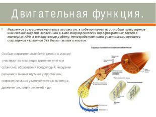 Двигательная функция. Мышечное сокращение является процессом, в ходе которого пр