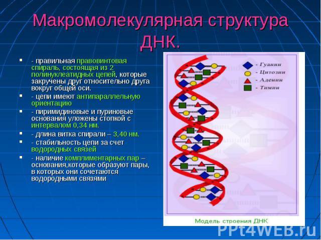 Макромолекулярная структура ДНК. - правильная правовинтовая спираль, состоящая из 2 полинуклеатидных цепей, которые закручены друг относительно друга вокруг общей оси. - цепи имеют антипараллельную ориентацию - пиримидиновые и пуриновые основания ул…
