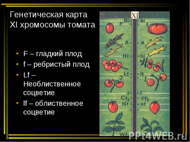 Генетическая карта ХI хромосомы томата F – гладкий плод f – ребристый плод Lf – Необлиственное соцветие lf – облиственное соцветие