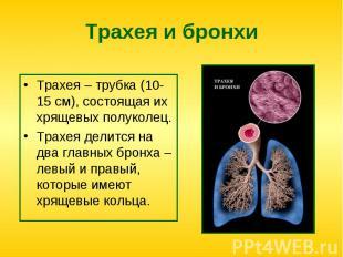 Трахея – трубка (10-15 см), состоящая их хрящевых полуколец. Трахея – трубка (10