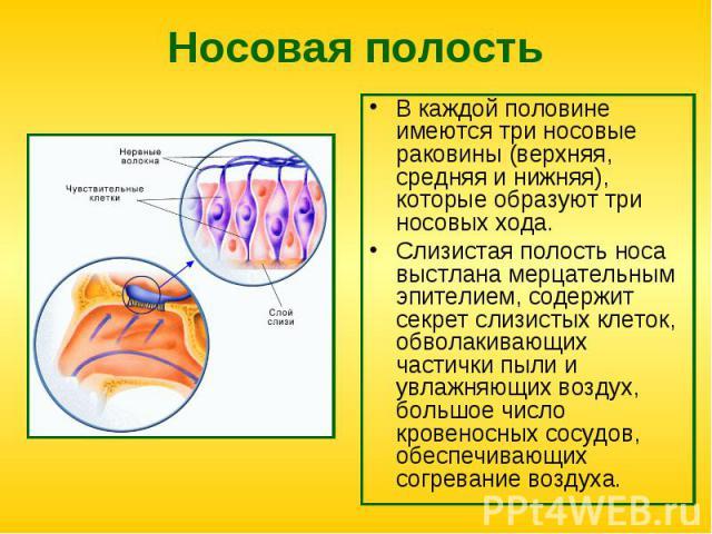 В каждой половине имеются три носовые раковины (верхняя, средняя и нижняя), которые образуют три носовых хода. В каждой половине имеются три носовые раковины (верхняя, средняя и нижняя), которые образуют три носовых хода. Слизистая полость носа выст…