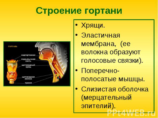 Хрящи. Хрящи. Эластичная мембрана, (ее волокна образуют голосовые связки). Поперечно-полосатые мышцы. Слизистая оболочка (мерцательный эпителий).