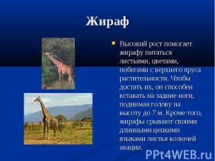 Высокий рост помогает жирафу питаться листьями, цветами, побегами с верхнего яру