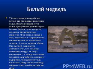 У белого медведя шкура белая, потому что прозрачные волосинки полые. Воздух попа