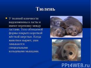 У тюленей конечности видоизменены в ласты и имеют перепонку между ластами. Тело