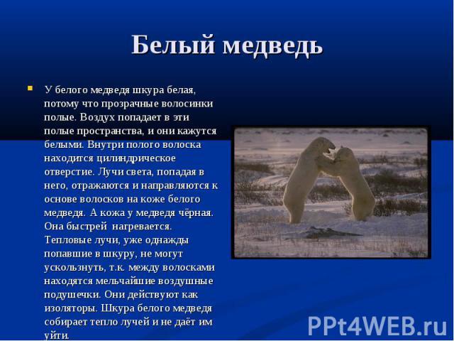 У белого медведя шкура белая, потому что прозрачные волосинки полые. Воздух попадает в эти полые пространства, и они кажутся белыми. Внутри полого волоска находится цилиндрическое отверстие. Лучи света, попадая в него, отражаются и направляются к ос…