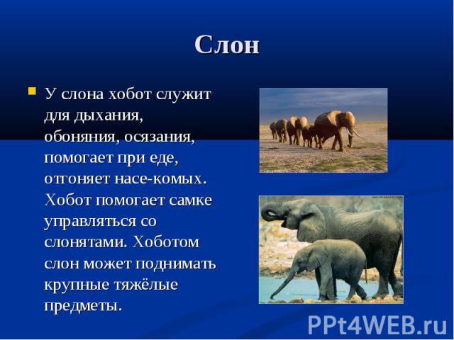 У слона хобот служит для дыхания, обоняния, осязания, помогает при еде, отгоняет насе-комых. Хобот помогает самке управляться со слонятами. Хоботом слон может поднимать крупные тяжёлые предметы. У слона хобот служит для дыхания, обоняния, осязания, …