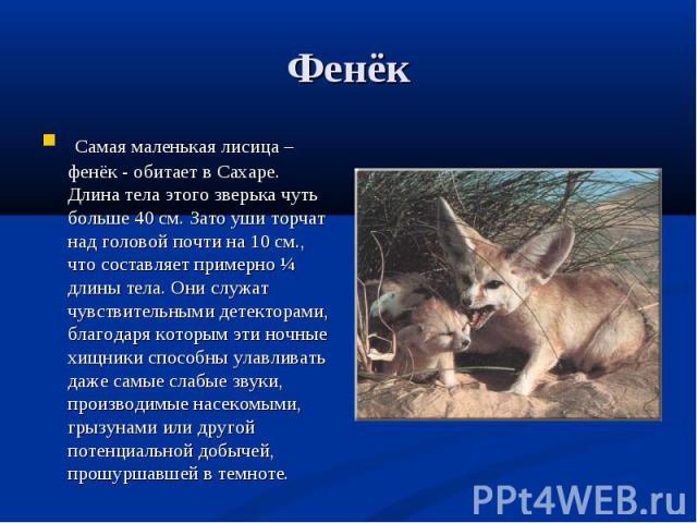 Самая маленькая лисица – фенёк - обитает в Сахаре. Длина тела этого зверька чуть больше 40 см. Зато уши торчат над головой почти на 10 см., что составляет примерно ¼ длины тела. Они служат чувствительными детекторами, благодаря которым эти ночные хи…