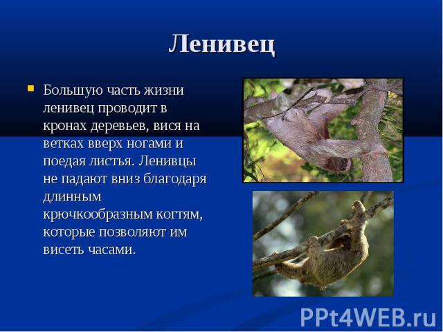 Большую часть жизни ленивец проводит в кронах деревьев, вися на ветках вверх ногами и поедая листья. Ленивцы не падают вниз благодаря длинным крючкообразным когтям, которые позволяют им висеть часами. Большую часть жизни ленивец проводит в кронах де…