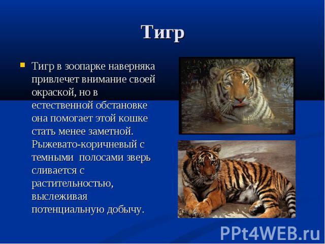Тигр в зоопарке наверняка привлечет внимание своей окраской, но в естественной обстановке она помогает этой кошке стать менее заметной. Рыжевато-коричневый с темными полосами зверь сливается с растительностью, выслеживая потенциальную добычу. Тигр в…