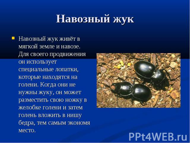 Навозный жук живёт в мягкой земле и навозе. Для своего продвижения он использует специальные лопатки, которые находятся на голени. Когда они не нужны жуку, он может разместить свою ножку в желобке голени и затем голень вложить в нишу бедра, тем самы…