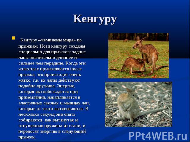 Кенгуру-«чемпионы мира» по прыжкам. Ноги кенгуру созданы специально для прыжков: задние лапы значительно длиннее и сильнее чем передние. Когда эти животные приземляются после прыжка, это происходит очень мягко, т.к. их лапы действуют подобно пружине…