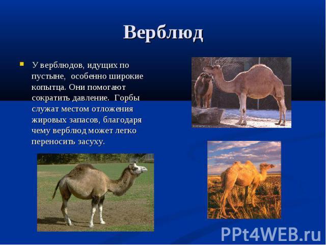 У верблюдов, идущих по пустыне, особенно широкие копытца. Они помогают сократить давление. Горбы служат местом отложения жировых запасов, благодаря чему верблюд может легко переносить засуху. У верблюдов, идущих по пустыне, особенно широкие копытца.…