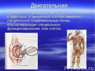 Проявляется при работе мускулатуры человека и животных. В мышечных клетках имеют