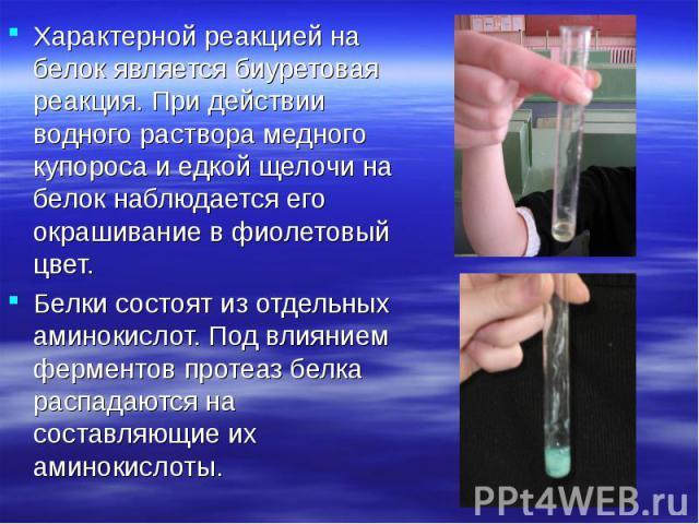 Характерной реакцией на белок является биуретовая реакция. При действии водного раствора медного купороса и едкой щелочи на белок наблюдается его окрашивание в фиолетовый цвет. Характерной реакцией на белок является биуретовая реакция. При действии …