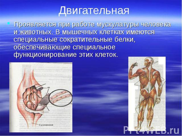 Проявляется при работе мускулатуры человека и животных. В мышечных клетках имеются специальные сократительные белки, обеспечивающие специальное функционирование этих клеток. Проявляется при работе мускулатуры человека и животных. В мышечных клетках …