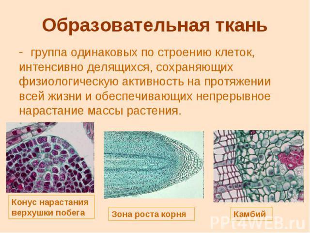 Образовательная ткань группа одинаковых по строению клеток, интенсивно делящихся, сохраняющих физиологическую активность на протяжении всей жизни и обеспечивающих непрерывное нарастание массы растения.