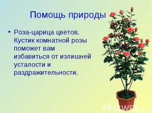 Роза-царица цветов. Кустик комнатной розы поможет вам избавиться от излишней уст
