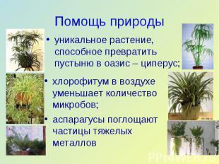 уникальное растение, способное превратить пустыню в оазис – циперус; уникальное