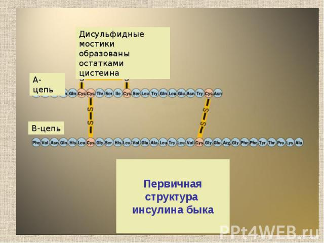 Первичная структура инсулина быка