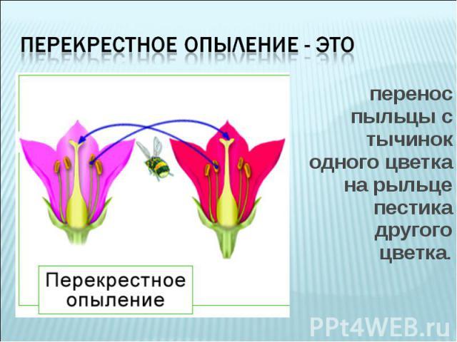 перенос пыльцы с тычинок одного цветка на рыльце пестика другого цветка. перенос пыльцы с тычинок одного цветка на рыльце пестика другого цветка.