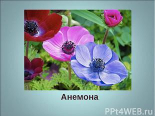 Анемона Анемона