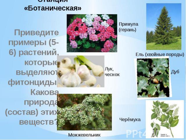 Станция «Ботаническая» Приведите примеры (5-6) растений, которые выделяют фитонциды. Какова природа (состав) этих веществ?