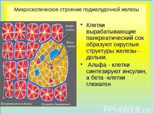 Микроскопическое строение поджелудочной железы Клетки вырабатывающие панкреатиче