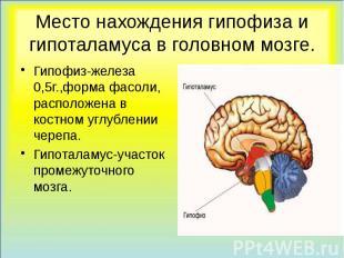 Место нахождения гипофиза и гипоталамуса в головном мозге. Гипофиз-железа 0,5г.,