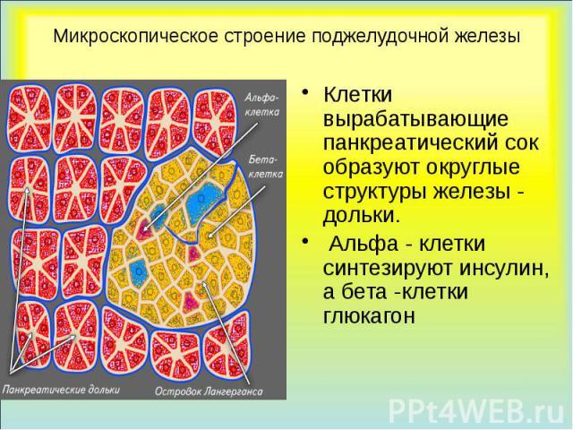 Микроскопическое строение поджелудочной железы Клетки вырабатывающие панкреатический сок образуют округлые структуры железы - дольки. Альфа - клетки синтезируют инсулин, а бета -клетки глюкагон