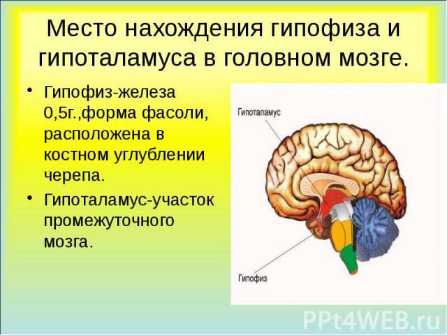 Место нахождения гипофиза и гипоталамуса в головном мозге. Гипофиз-железа 0,5г.,форма фасоли, расположена в костном углублении черепа. Гипоталамус-участок промежуточного мозга.