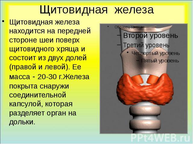 Щитовидная железа Щитовидная железа находится на передней стороне шеи поверх щитовидного хряща и состоит из двух долей (правой и левой). Ее масса - 20-30 г.Железа покрыта снаружи соединительной капсулой, которая разделяет орган на дольки.