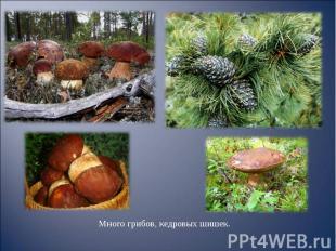 Много грибов, кедровых шишек. Много грибов, кедровых шишек.