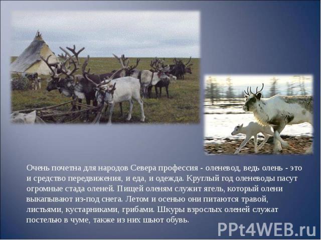 Очень почетна для народов Севера профессия - оленевод, ведь олень - это и средство передвижения, и еда, и одежда. Круглый год оленеводы пасут огромные стада оленей. Пищей оленям служит ягель, который олени выкапывают из-под снега. Летом и осенью они…