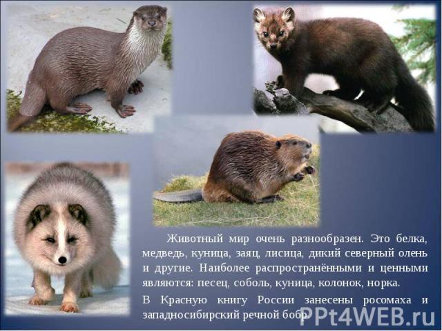 Животный мир очень разнообразен. Это белка, медведь, куница, заяц, лисица, дикий северный олень и другие. Наиболее распространёнными и ценными являются: песец, соболь, куница, колонок, норка. Животный мир очень разнообразен. Это белка, медведь, куни…