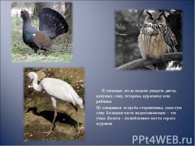В таежных лесах можно увидеть дятла, кукушку, сову, тетерева, куропатку или рябчика. В таежных лесах можно увидеть дятла, кукушку, сову, тетерева, куропатку или рябчика. Из хищников ястреба-стервятника, ушастую сову. Большая часть водоплавающих – эт…