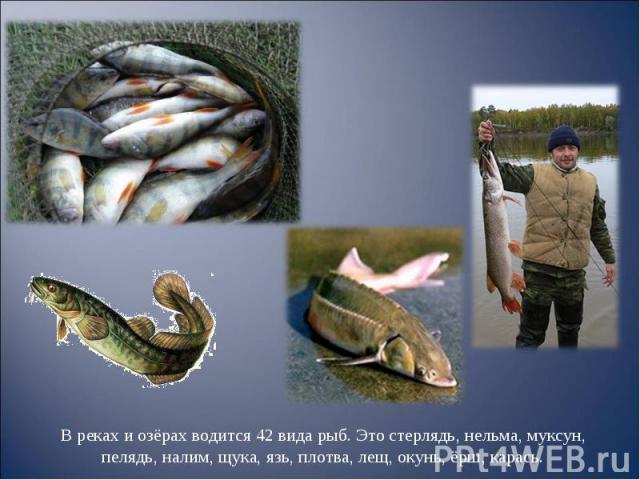 В реках и озёрах водится 42 вида рыб. Это стерлядь, нельма, муксун, пелядь, налим, щука, язь, плотва, лещ, окунь, ёрш, карась. В реках и озёрах водится 42 вида рыб. Это стерлядь, нельма, муксун, пелядь, налим, щука, язь, плотва, лещ, окунь, ёрш, карась.