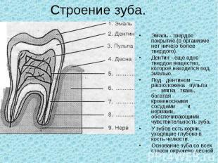Строение зуба. Эмаль - твердое покрытие (в организме нет ничего более твердого).