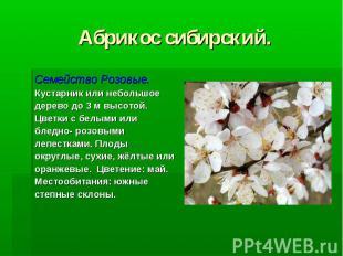 Абрикос сибирский. Семейство Розовые. Кустарник или небольшое дерево до 3 м высо
