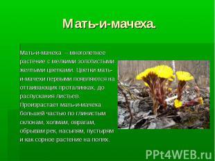 Мать-и-мачеха. Мать-и-мачеха – многолетнее растение с мелкими золотистыми желтым