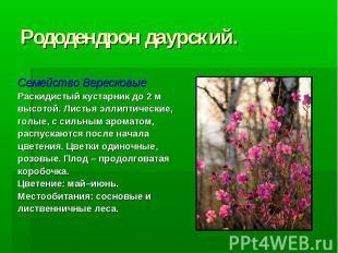 Рододендрон даурский. Семейство Вересковые Раскидистый кустарник до 2 м высотой.