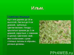 Ильм. Семейство Ильмовые Куст или дерево до 16 м высотой. Листья до 9 см длиной,