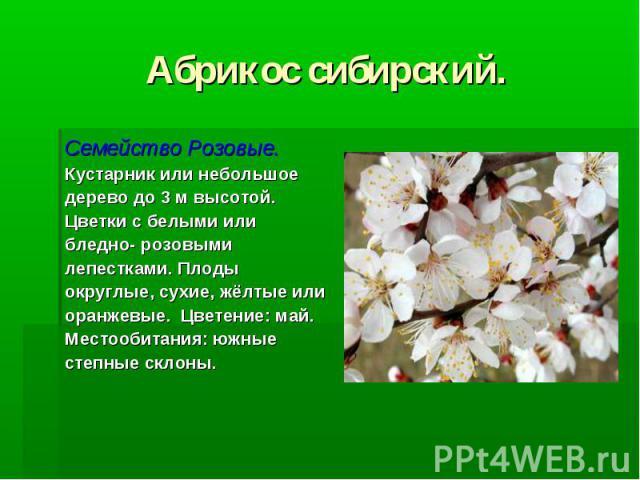 Абрикос сибирский. Семейство Розовые. Кустарник или небольшое дерево до 3 м высотой. Цветки с белыми или бледно- розовыми лепестками. Плоды округлые, сухие, жёлтые или оранжевые. Цветение: май. Местообитания: южные степные склоны.