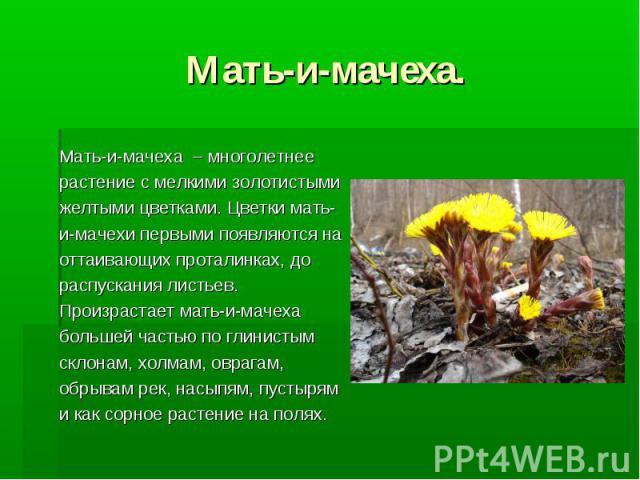 Мать-и-мачеха. Мать-и-мачеха – многолетнее растение с мелкими золотистыми желтыми цветками. Цветки мать- и-мачехи первыми появляются на оттаивающих проталинках, до распускания листьев. Произрастает мать-и-мачеха большей частью по глинистым склонам, …