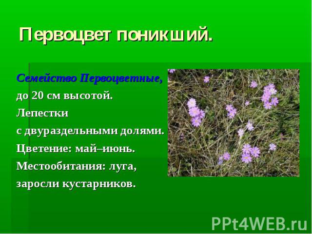 Первоцвет поникший. Семейство Первоцветные, до 20 см высотой. Лепестки с двураздельными долями. Цветение: май–июнь. Местообитания: луга, заросли кустарников.