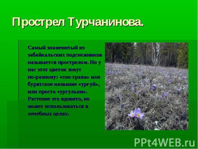 Прострел Турчанинова. Самый знаменитый из забайкальских подснежников называется прострелом. Но у нас этот цветок зовут по-разному: «сон-трава» или бурятское название «ургуй», или просто «ургульки». Растение это ядовито, но может использоваться в леч…