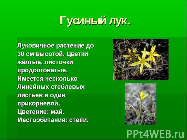 Гусиный лук. Луковичное растение до 30 см высотой. Цветки жёлтые, листочки продолговатые. Имеется несколько Линейных стеблевых листьев и один прикорневой. Цветение: май. Местообитания: степи.